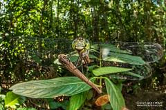 Dragonfly - DSC_2555 (nickybay) Tags: riflerangeroad macro singapore dragonfly odonata anisoptera cctv wideangle fisheye