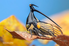 Treehopper (Leptobelus sp.) - DSC_2511 (nickybay) Tags: riflerangeroad macro singapore leptobelus membracidae treehopper