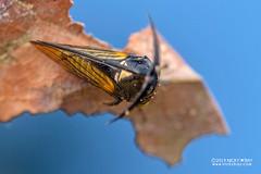 Treehopper (Leptobelus sp.) - DSC_2508 (nickybay) Tags: riflerangeroad macro singapore leptobelus membracidae treehopper