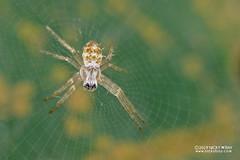 Cross spider (Argiope sp.) - DSC_2478 (nickybay) Tags: riflerangeroad macro singapore argiope araneidae juvenile cross orb weaver spider