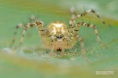 Spiny sac spider (Echinax sp.) - DSC_2465 (nickybay) Tags: riflerangeroad macro singapore echinax sac spider corinnidae spiny