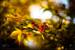 Shining Bloody (कलविङ्क) Tags: maple tree leaf red golden autumn sunshine sigmax3