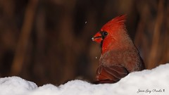 cardinal rouge mâle: Northern cardinal male (jean-guy Proulx) Tags: cardinalrougemâle northerncardinalmale oiseaux birds coth5 nature animals jeanguyproulx canoneos80d animal