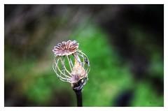 «Mieux vaut une tête bien faite... (BelSoq) Tags: macro nature bokeh jardin garden pavot