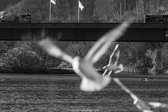 Unsharp Seagulls - December 2019 I (boettcher.photography) Tags: sashahasha boettcherphotography boettcherphotos december dezember neckargemünd rheinneckarkreis badenwürttemberg 2019 bird vogel tiere animals seagull möwe bridge brücke blackwhite schwarzweiss schwarzweis monochrone neckar river fluss