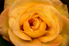 Into the Yellow 3-0 F LR 10-12-19 J366 (sunspotimages) Tags: flower flowers rose roses yellow yellowflower yellowflowers yellowrose yellowroses nature