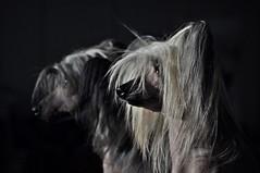 Hundeausstellung Kassel (Uli He - Fotofee) Tags: hundeausstellung kassel hunde ausstellung tier ulrike ulrikehe uli ulihe ulrikehergert hergert nikon nikond90 fotofee