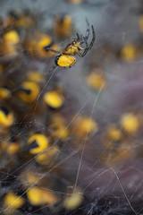 [Araneus diadematus]-[GBR-Skokholm Island] (Mike Creighton) Tags: wales pembrokeshire animalia arthropoda araneusdiadematus arachnida marloes gardenspider araneidae araneaespiders benched activitypeople