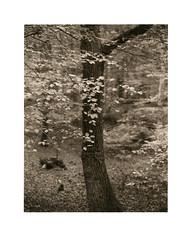 Herbstlaub (Wolfgang Moersch) Tags: fp4 pyro48 kallitype rochellesaltdeveloper hahnemühleplatinumrag