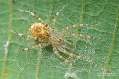 Spiny sac spider (Echinax sp.) - DSC_2457 (nickybay) Tags: riflerangeroad macro singapore echinax sac spider corinnidae spiny