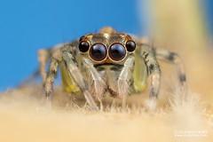 Jumping spider (Salticidae) - DSC_2442 (nickybay) Tags: riflerangeroad macro singapore salticidae jumping spider