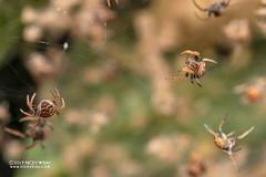 Broad-headed bark spider (Caerostris sp.) - DSC_2406 (nickybay) Tags: riflerangeroad macro singapore babies caerostris araneidae broadheaded bark spider