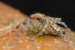 Jumping spider (Salticidae) - DSC_2393 (nickybay) Tags: riflerangeroad macro singapore salticidae jumping spider