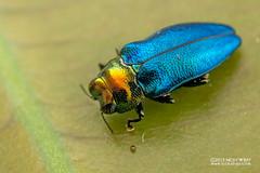 Jewel beetle (Endelus sp.) - DSC_2357 (nickybay) Tags: riflerangeroad macro singapore jewel beetle buprestidae endelus