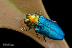 Jewel beetle (Endelus sp.) - DSC_2352 (nickybay) Tags: riflerangeroad macro singapore jewel beetle buprestidae endelus