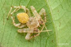 Orb weaver spider (Eriovixia sp.) - DSC_2344 (nickybay) Tags: riflerangeroad macro singapore eriovixia araneidae orb weaver spider male