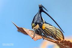 Treehopper (Leptobelus sp.) - DSC_2540 (nickybay) Tags: riflerangeroad macro singapore leptobelus membracidae treehopper