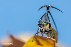 Treehopper (Leptobelus sp.) - DSC_2485 (nickybay) Tags: riflerangeroad macro singapore leptobelus membracidae treehopper