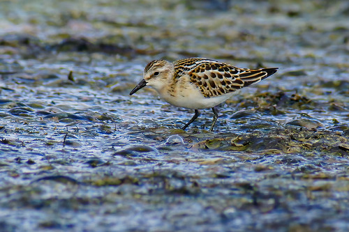 Little Stint_02