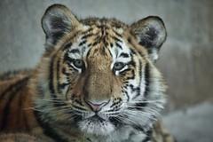 Junger sibirischer Tiger (Fritz Zachow) Tags: raubkatze tiger sibirischer erlebniszoo hannover deutschland niedersachsen
