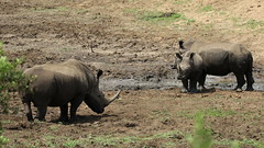White Rhino-7D2_7606-001 (cherrytree54) Tags: canon7dmkii sigma 150600 hluhluwe imfolozi park richards bay south africa white rhino
