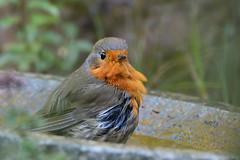 DSC_3378 Rotkehlchen - Robin in the birdbath (Charli 49) Tags: nature naturfotografie fauna tier vogel wildlife rotkehlchen vogelbad nikon d7000 tamron 150600