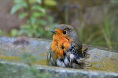 DSC_3388  Rotkehlchen - Robin in the birdbath (Charli 49) Tags: nature naturfotografie fauna tier vogel wildlife rotkehlchen vogelbad nikon d7000 tamron 150600