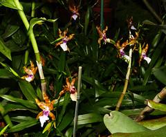 Miltonia clowesii 'Diego' species orchid 12-19 (nolehace) Tags: miltonia clowesii diego species orchid 1219 cultivar flower bloom plant fall nolehace sanfrancisco fz1000