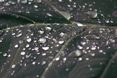 Fresh Leaf (xilmabaez) Tags: artistic photography photo nature rain water droplets drops fresh leaf leaves
