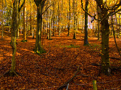 How Many Trees Does It Take To Save The Planet (RS400) Tags: cool wow autumn tree trees outside landscape leaves leave olympus uk photography travel brown south west