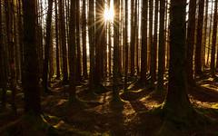 Afternoon light, Bridge of Orchy woods (S.R.Murphy) Tags: bridgeoforchy scotland landscape tree trees nature sunlight sunshine woods woodland fujifilmxt2 fujifilmxf1680mm
