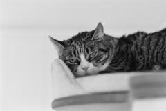 Minka (unbunt.me) Tags: film meinfilmlab analog wwwmeinfilmlabde bw cat blackwhite blackandwhite delta400 nikon katze 35mm nikonfe2