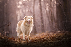 Batou (czypek) Tags: dog border collie animal majestic nature pet cute portrait mammal background bokeh domestic purebred outdoor forest pedigree canine puppy fur australian red adorable awesome nostalgic isolated