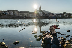 A Visitor in Neckargemünd - December 2019 I (boettcher.photography) Tags: sashahasha boettcherphotography boettcherphotos december dezember neckargemünd rheinneckarkreis badenwürttemberg 2019 bird vogel tiere animals neckar fluss river church kirche