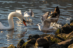Seagull on the Rocks - December 2019 II (boettcher.photography) Tags: sashahasha boettcherphotography boettcherphotos december dezember neckargemünd rheinneckarkreis badenwürttemberg 2019 bird vogel tiere animals seagull möwe schwan swan neckar river fluss