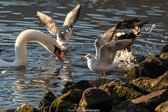 Seagull on the Rocks - December 2019 I (boettcher.photography) Tags: sashahasha boettcherphotography boettcherphotos december dezember neckargemünd rheinneckarkreis badenwürttemberg 2019 bird vogel tiere animals seagull möwe schwan swan neckar river fluss