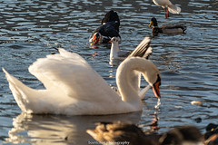 A Duck, a Visitor , a Seagul and a Swan - December 2019 (boettcher.photography) Tags: sashahasha boettcherphotography boettcherphotos december dezember neckargemünd rheinneckarkreis badenwürttemberg 2019 bird vogel tiere animals seagull möwe ente duck schwan swan neckar river fluss