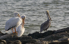 trio (Mark.Swanson) Tags: bird pelican brownpelican pelecanusoccidentalis whitepelican americanwhitepelican pelecanuserythrorhynchos texascitydike texascity texas