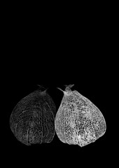Fading Away (Karen_Chappell) Tags: plant pod textures bw black two reflection shadow fall autumn stilllife chineselantern nature decay old 2 blackandwhite