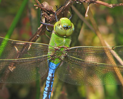 9th Day of Christmas Dragonflies:   Anax junius - Common green darner (Vicki's Nature) Tags: commongreendarner big dragonfly green blue anaxjunius biello georgia vickisnature canon s5 7928 christmas2019 macro closeup wings