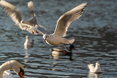 Flying Seagull - December 2019 (boettcher.photography) Tags: sashahasha boettcherphotography boettcherphotos december dezember neckargemünd rheinneckarkreis badenwürttemberg 2019 bird vogel tiere animals seagull möwe neckar river fluss