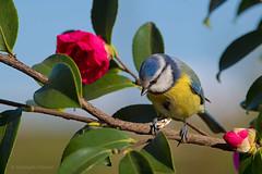The blue tit snack (rubacolor) Tags: cyanistes caeruleus cinciarella uccelli bird natura ornitologia d850 nikon
