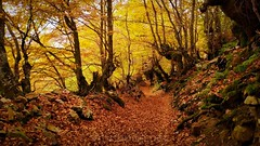 Parque Natural de Redes (vmribeiro.net) Tags: leaf wood nature season landscape guidance tree beech road horizontal color image caso asturias spain europe southern autumn no people scenics rural scene footpath dirt natural parkland public park maple outdoors day gold colored direction nonurban parque redes fall redminote7 insta