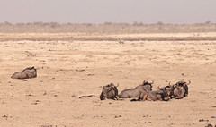 Wildebeest At Rest (peterkelly) Tags: digital canon 6d africa namibia capetowntovicfalls intrepidtravel etoshanationalpark bluewildebeest plain savanna herd horns