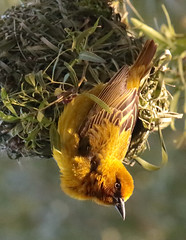 Cape Weaver (peterkelly) Tags: digital canon 6d africa intrepidtravel capetowntovicfalls klawer capeweaver bird nest yellow hanging camping campsite birdfieldfarm klawercellars southafrica
