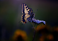 Swallowtail (Jürgen G. Mostly off, for health reasons) Tags: wildlife sunset swallowtail butterfly untouched meadow