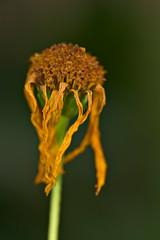 Hanging (pstenzel71) Tags: blumen natur pflanzen topinambur sunflower darktable flower bokeh withered ilce7rm3 sel90m28g