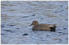 Gadwall (Tom Warne Photography) Tags: gadwall steeple langford lakes wildlife nature birds flight