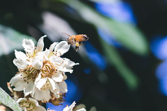 Bee & Blossom (sundaygoldphotography) Tags: honey bee flower blossom plum loquat insect pollen pollinate