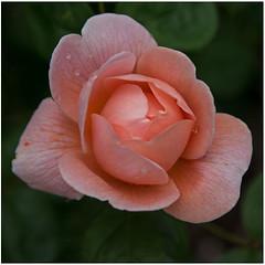 0003 (peter.tyrer) Tags: devon flower bloom nature